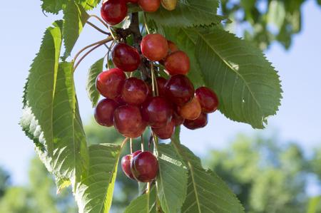 Prunus avium, sweet cherry, wild cherry fruit on the branch