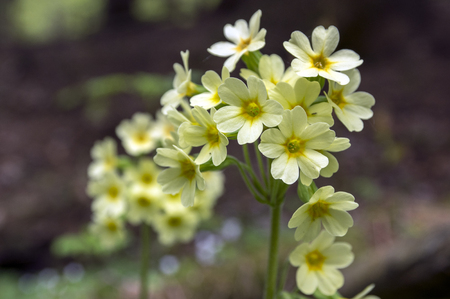 Primula veris elatior in bloom