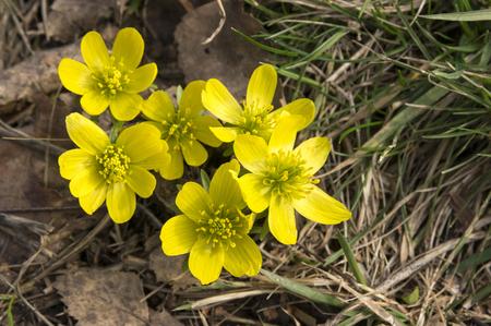 Detail of eranthis hyemalis, early spring flowers in bloom, winter aconite, group of flowering plants Stock Photo