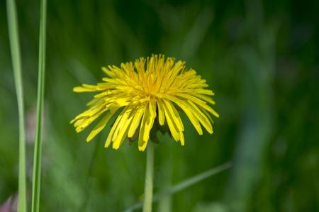 Yellow dandelion, Taraxacum officinale in bloom, single flower in the grass
