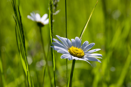common blue: Leucanthemum vulgare meadows of wild flowers with white petals and yellow center in bloom