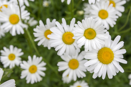 Leucanthemum vulgare meadows of wild flowers with white petals and yellow center in bloom