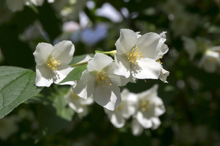 False jasmine, mock-orange, Philadelphus in bloom
