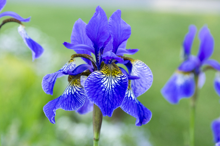 Iris sibirica in bloom, wild flowers