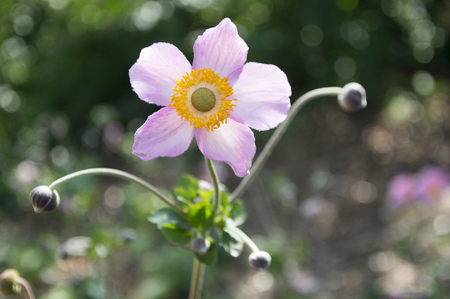 One Anemone hupehensis japonica double flower, Chinese anemone, Japanese anemone, thimbleweed, windflower in bloom