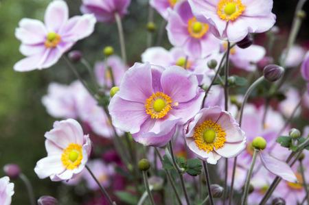 Anemone hupehensis japonica flor doble, anémona china, anémona japonesa, thimbleweed, windflowers en flor