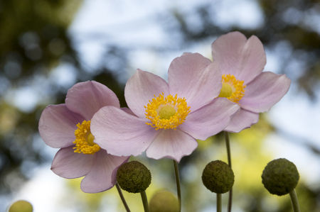 Three Graces, Anemone hupehensis japonica, Chinese anemone, Japanese anemone, thimbleweed, anemones, windflower in bloom, against blue sky