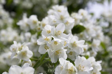 False jasmine, mock-orange, Philadelphus in bloom