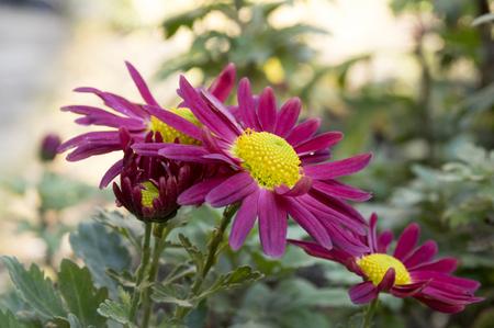 Chrysanthemum indicum, Indian chrysanthemum, Oury, mum flowers in bloom