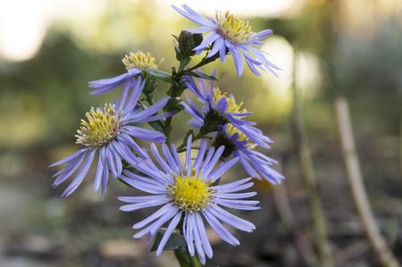 Symphyotrichum novae-angliae, Aster novae-angliae, New England aster, hairy Michaelmas-daisy, Michaelmas daisy in bloom, autumn ornamental herbaceous perennial plant