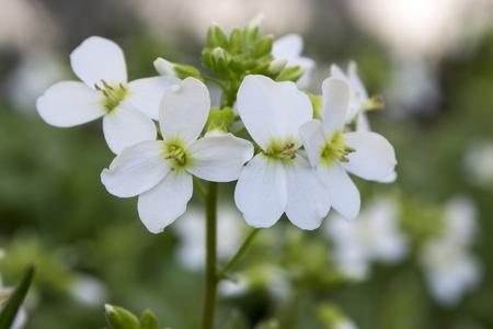 Aubrieta Deltoidea. Gebräuchliche Namen Sind Lilacbush ...