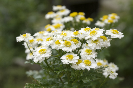 button: Tanacetum parthenium, the feverfew, bachelors buttons in bloom Stock Photo