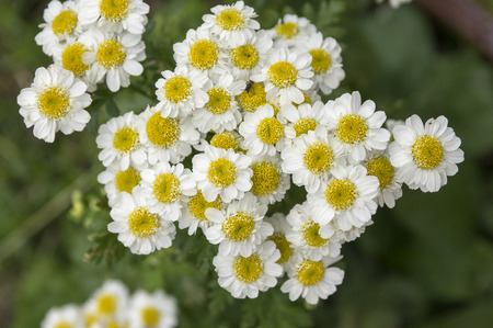 Tanacetum parthenium, the feverfew, bachelors buttons in bloom Stock Photo