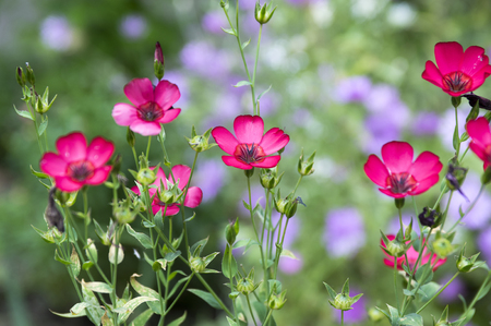 Linum grandiflorum coccineum, flowering flax, red flax, scarlet flax, crimson flax in bloom Stock Photo