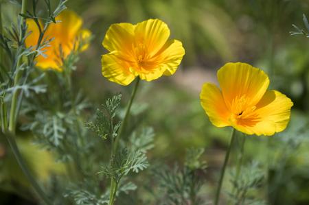 californian: Eschscholzia californica cup of gold flowers in bloom