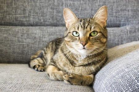 Male marble cat with clever stern and serious expression on his face, eye contact, lime eyes, gray sofa
