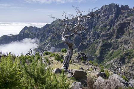 empedrado: Pico Ruivo senderismo, increíble paisaje mágico, vistas increíbles, árbol quemado contra el cielo azul, nubes bajas, isla de Madeira, Portugal, Europa