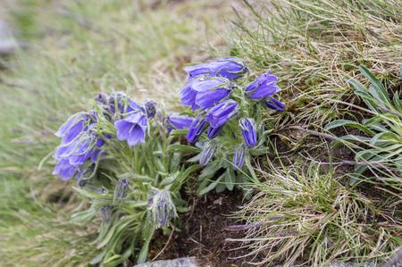 Campanula alpina, perennial bellflower in bloom in the grass, High Tatra mountains, Slovakia