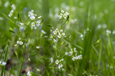 Draba verna group of early spring tiny white wild flowers in bloom in the grass Stock Photo