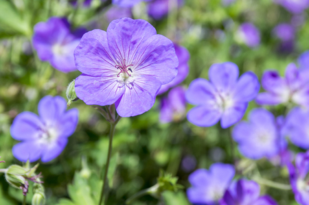 bee on flower: Cranesbills group of flowers, Geranium Rozanne in bloom Stock Photo