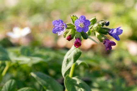 Pulmonaria officinalis in bloom, early springtime