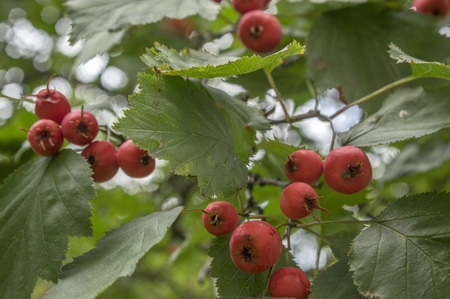 Crataegus pinnatifida, Chinese hawthorn hawberry with red ripened fruits