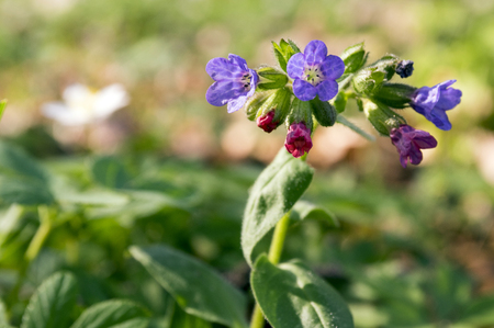 Pulmonaria officinalis in bloom, early springtime