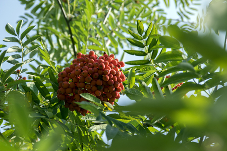 Sorbus aucuparia autumn red fruits on the tree with leaves against blue sky