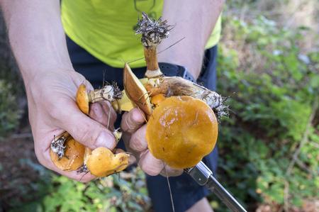 Two suillus grevillei edible forest mushroom in hands, knife, orange wet looking caps