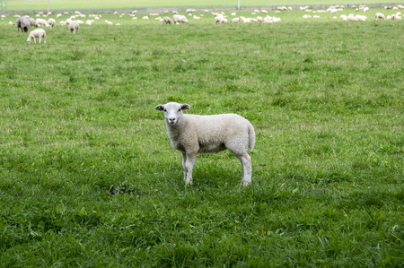 White common sheep ovis aries grazing on pasture, eye contact