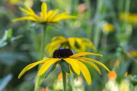 Rudbeckia hirta yellow flower with black brown centre in bloom rudbeckia hirta yellow flower with black brown centre in bloom black eyed susan in the mightylinksfo