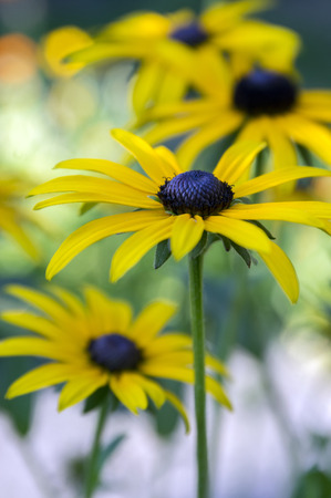 Rudbeckia hirta yellow flower with black brown centre in bloom rudbeckia hirta yellow flower with black brown centre in bloom stock photo picture and royalty free image image 88933017 mightylinksfo