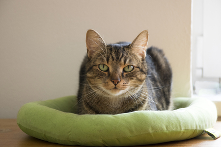Domestic tiger cat lying on green cat bed, eye contact