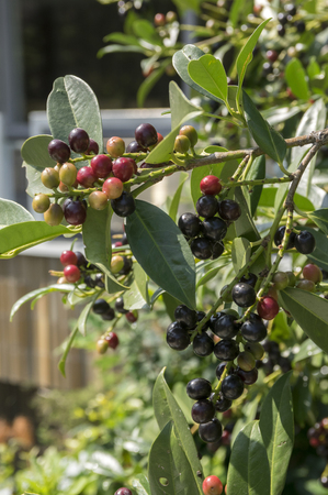 Prunus laurocerasus cherry laurel shrub, ripening fruits on branches Stock Photo