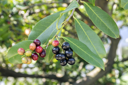 Prunus laurocerasus cherry laurel shrub, ripening fruits on branches Stock Photo