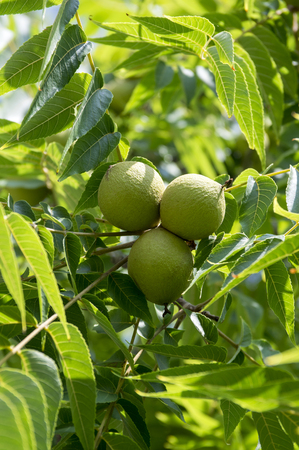 Juglans nigra green unripened nuts on branches