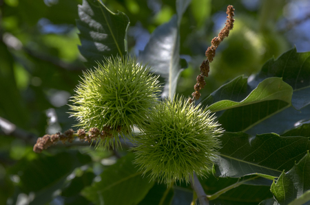 Castanea sativa, sweet chestnuts hidden in spiny cupules, tasty brownish nuts marron fruits, branches with leaves