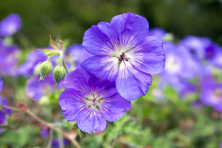 Cranesbills group of flowers, Geranium Rozanne in bloom Imagens