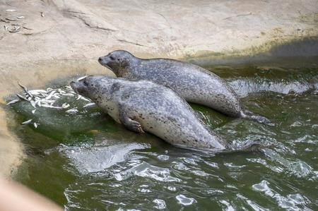 Harbor seal during feeding