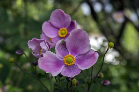 Anemone hupehensis japonica, Japanese anemone, thimbleweed windflower in bloom
