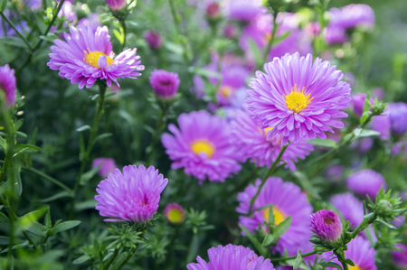 Symphyotrichum novi-belgii New York aster ornamental autumn plant in bloom