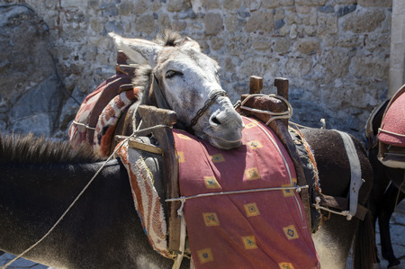 Tired donkey leans his head on the other saddled donkey, touristic attraction, Lindos town, Greek island Rhodos