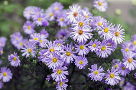 Symphyotrichum novae-angliae Michaelmas daisy in bloom, autumn ornamental herbaceous perennial plant Banque d'images