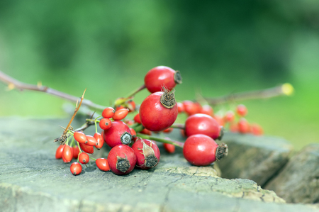 Ripened rose hips and barberies on branches, on wooden stamp Reklamní fotografie