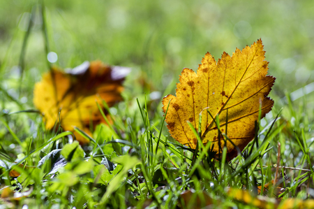 Bright orange autumn leaf in the grass, backlighting, hawthorn leaf against the sunlight Stock Photo