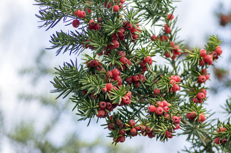 Taxus baccata European yew is conifer shrub with poisonous and bitter red ripened berry fruits on branches against light blue sky