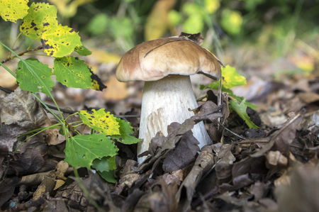 Boletus edulis edible mushroom in the forest on the ground, brown cap and white stem