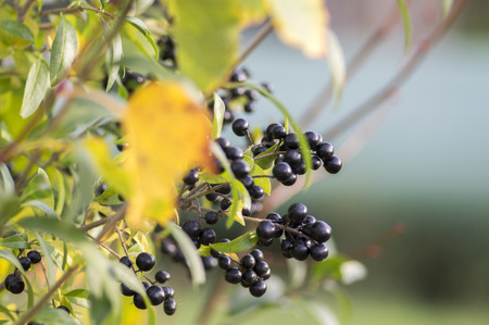 Ligustrum vulgare ripened black berries fruits, shrub branches with leaves, autumn colors in sunlight
