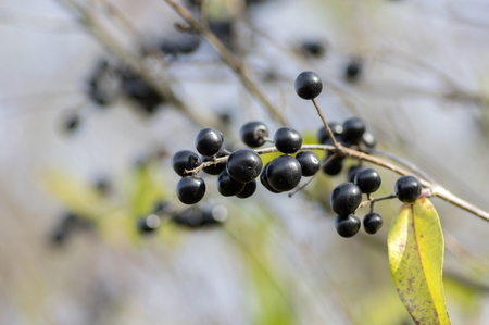Ligustrum vulgare ripened black berries fruits, shrub branches with leaves