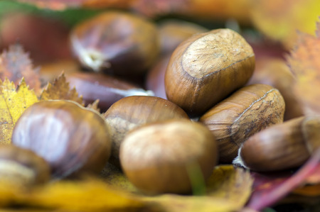 Sweet chestnuts in color autumn leaves Stock Photo